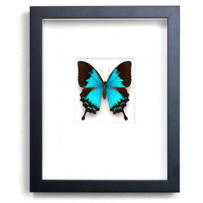 Cobalt Swallowtail
